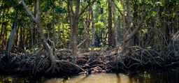 Image associated with Mangrove Alliance Website Launched as Resource for Preservation