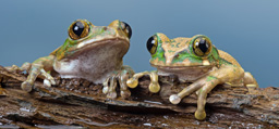 Image associated with Study Finds Hope for Amphibians Battling Deadly Fungus