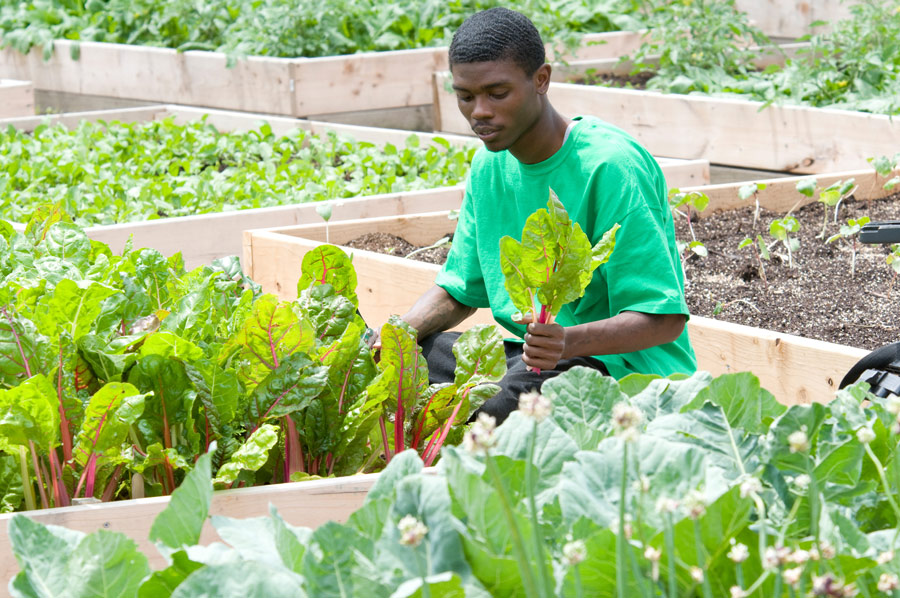 Young_Black_Man_Harvesting_Greens_In_Garden