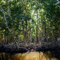 Thumbnail for Mangrove Alliance Website Launched as Resource for Preservation