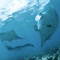 Thumbnail for Indonesia Declares Largest Manta Ray Sanctuary in the World
