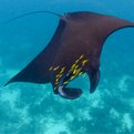 Thumbnail for Indonesia Conducts Largest Confiscation of Illegal Manta Ray Parts