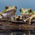 Thumbnail for Study Finds Hope for Amphibians Battling Deadly Fungus