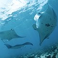 Indonesia Declares Largest Manta Ray Sanctuary in the World thumbnail